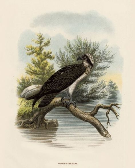Fine Art Print of the Osprey or Fish-Hawk by O V Riesenthal (1876)